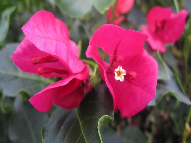 Bougainvillea Red Holly