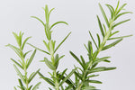 Rosemary - Rosmarinus officinalis buy plants in bulk