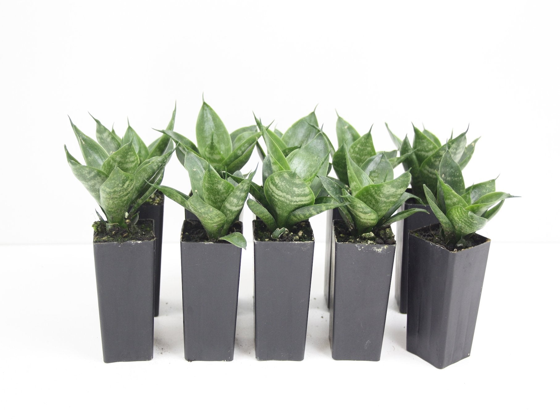 sansevieria dwarf dwarf mother in laws tongue drought tolerant plants in a box. Black Bedroom Furniture Sets. Home Design Ideas