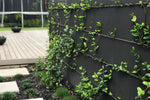 Star Jasmine Hedging or Ground Cover Pack