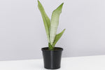 Sansevieria Moonshine or Snake Plant with it's upright silvery-green succulent foliage