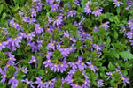 Scaevola aemula Purple Fanfare is a fast growing native ground cover