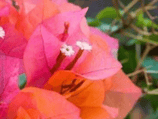 Bougainvillea Tango Supreme | Buy Plants Online | Plants In A Box