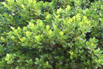 Acronychia imperforata Vista S | Shrub tolerates coastal conditions