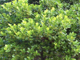 Shrub tolerates coastal conditions