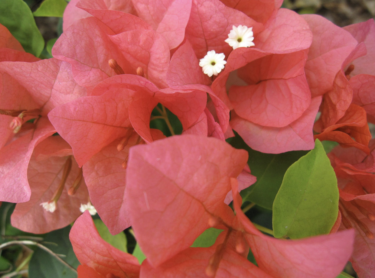 Bougainvillea Summer - 85mm