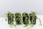 Senecio radicans - String of Beans | bean shaped cascading leaves