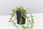 Senecio radicans - String of Beans | succulent vine with  green banana shaped thick leaves