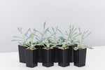 Senecio Trident Blue succulents plants with trident shaped fleshy blue foliage