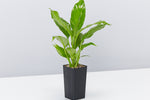 Spathiphyllum commutatum Power Petite - green foliage - white flowers