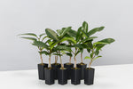 8 x Stephanotis Floribunda evergreen climbing plants with deep green shiny foliage pictured against a white background