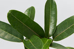 A close up view of the leaves of a Stephanotis Floribunda plant