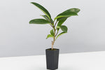 A Stephanotis Floribunda plant in a tube pot pictured against a white background
