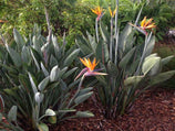 Strelitzia Reginae | Plants in a Box