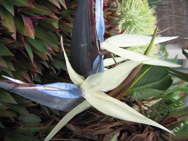 Strelitzia nicolai Giant 'White Bird of Paradise'