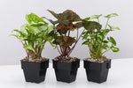 Syngonium Mixed Pack - 85mm