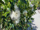 Syzygium Select |Plants in a Box