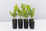 Syzygium Select is an Australian native, compact form of Lilly Pilly with glossy, dark green foliage and bronze tinted new growth.