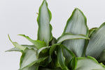 A large Tradescantia spathacea Silver rare plant with silvery-green sword-shaped leaves framed with green edges