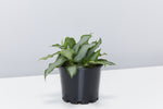 Tradescantia spathacea Silver | pale green sword shape leaves with dark green edge