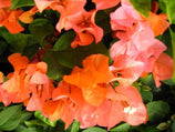 Bougainvillea Tango | Hardy Colorful Flowering Plant