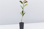 Thin Red™ Photinia x fraseri 'NP01' PBR