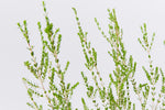 Foliage of the Thryptomene saxicola F.C. Paynenative shrub- small green leaves with a weeping form.