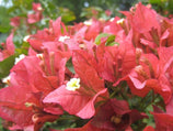 Bougainvillea Tiny Tina | Compact growth form | Pink Terracotta Bracts | Vibrant Flowers | Full Sun