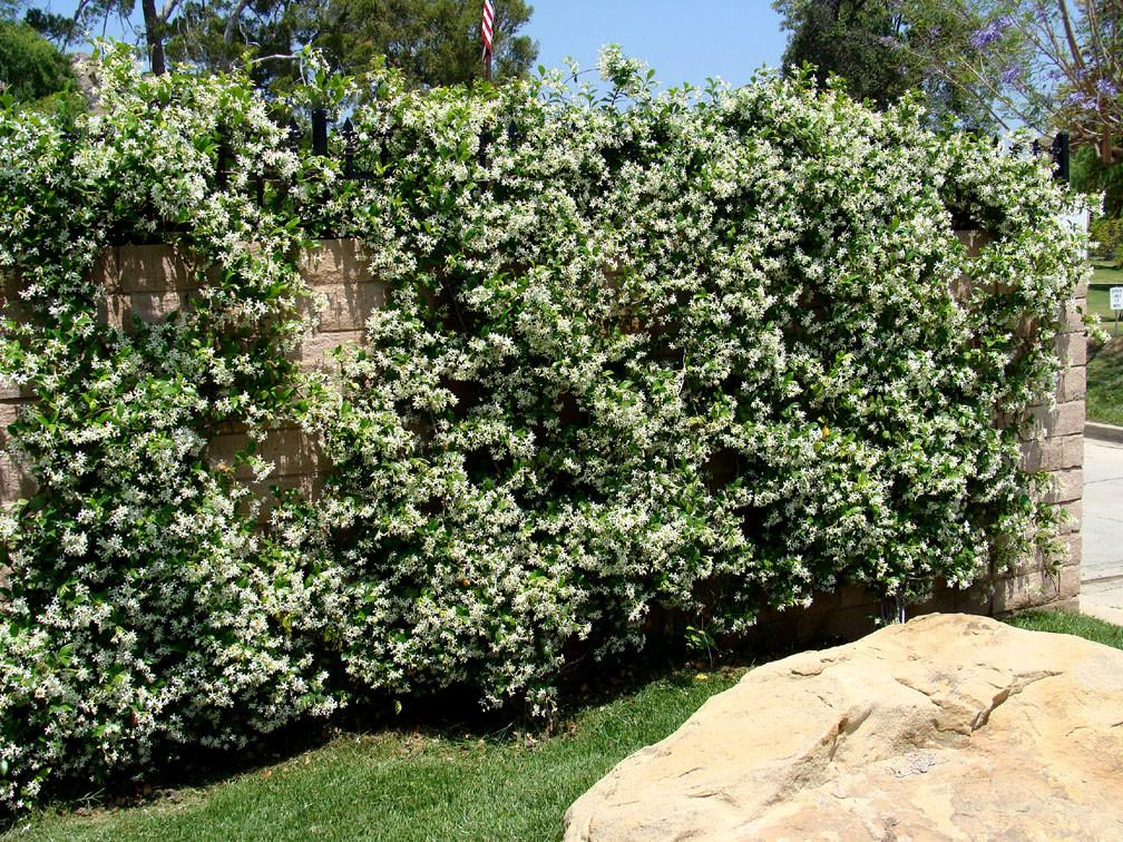how to get rid of jasmine ground cover