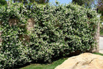 Buy Star Jasmine plants in bulk online and save