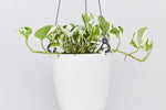 Note: Pothos Snow Queen in white pot