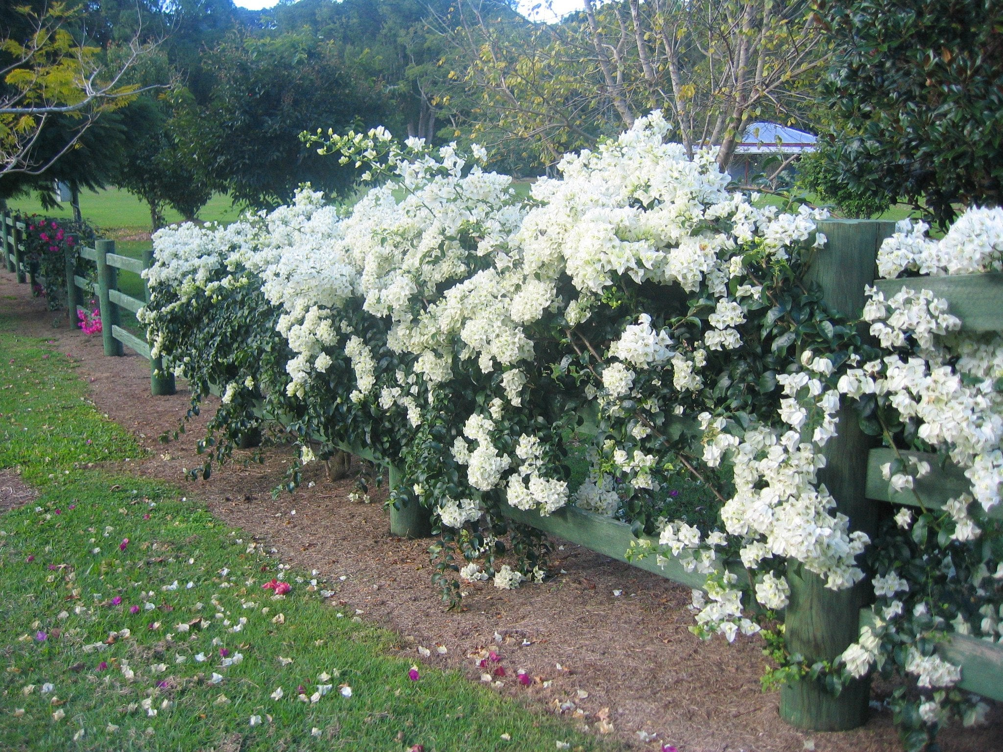 White Cascade Bougainvillea | Shop a 10 pack $59.95 | Free Shipping