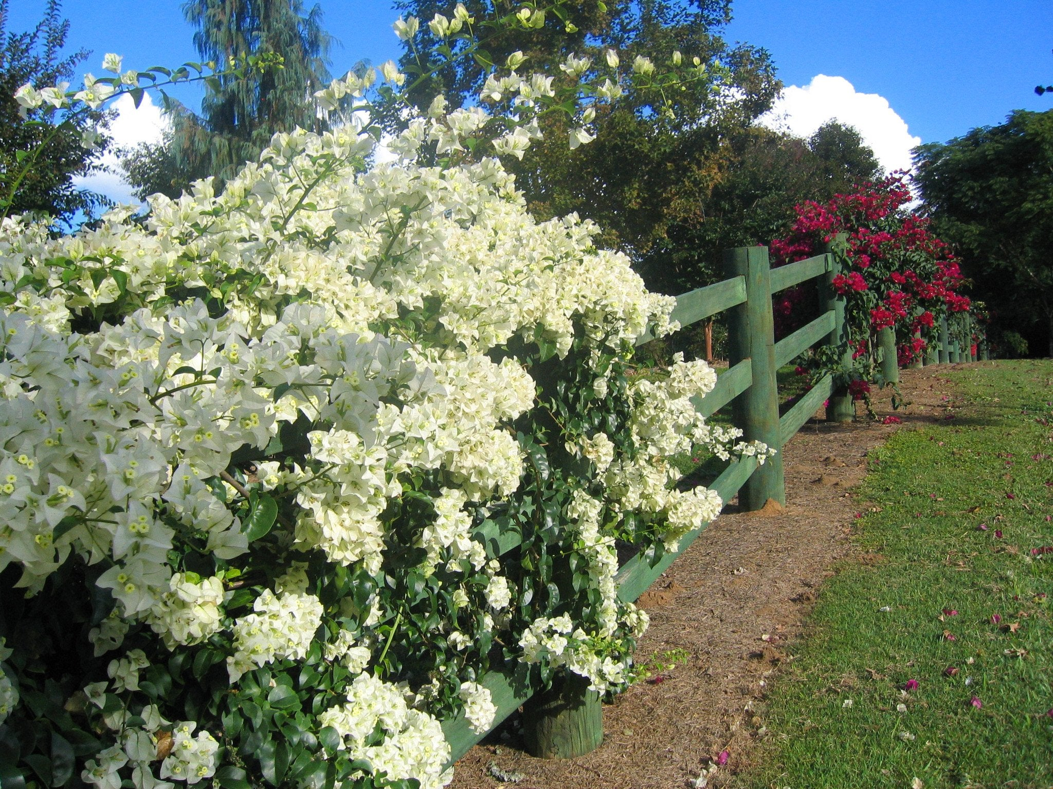 Bougainvillea shop our large range with free and fast shipping Australia Wide