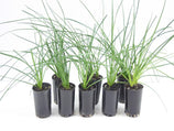 Zephyranthes candida - Rain lily | Buy Plants Online | Free Shipping Australia