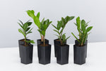Zamioculcas zamiifolia - Zanzibar Gem | dark green ovate leaves with slender stems