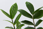 ZZ Plant | leather like green oblong leaves