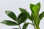 Zamioculcas zamiifolia - Zanzibar Gem | smooth, shiny, and dark green leaves