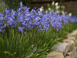 Agapanthus Baby Blue | Plants in a Box