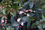 Acmena smithii  Lilly-Pilly | Buy Plants online | Hedging Plants