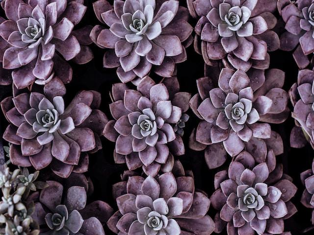 Echeveria Assorted Pack