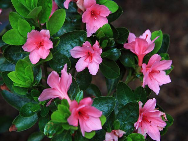 8 100 Plants Azalea Kurume Kirin Flowering Pots Feature