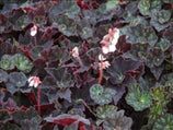 Begonia Black Fancy | Begonias | Tropical and Subtropical Plants | Exotic