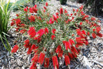 Callistemon Firebrand is a low growing native bottlebrush that will grow just about in any garden across Australia.