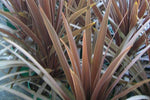Cordyline terminalis 'Red Sensation'