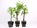 Bougainvillea Inca Gold 3 Pack