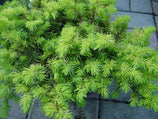 "Juniperus conferta ""All Gold"""