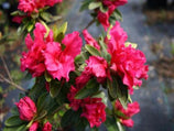 Azalea Red Wings | Plants in a Box | Japanese Gardens | Free Shipping