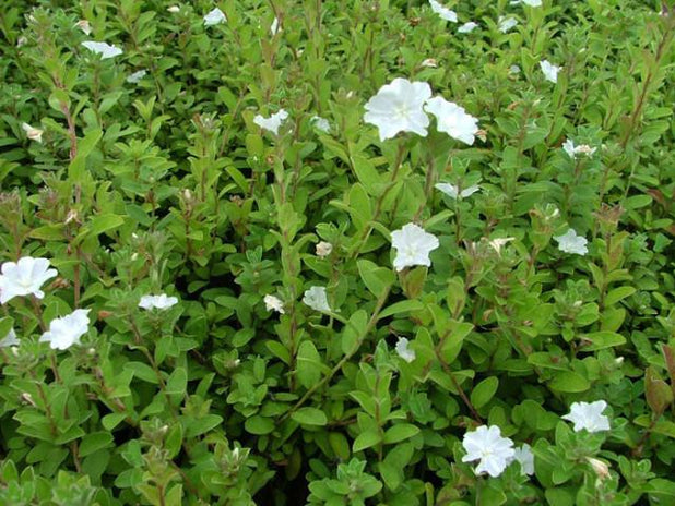 Evolvulus Pilosus - White groundcover