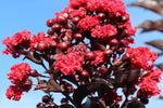 Lagerstroemia indica Best Red
