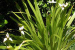 Neomarica northiana 'Walking Iris' Plant Packs